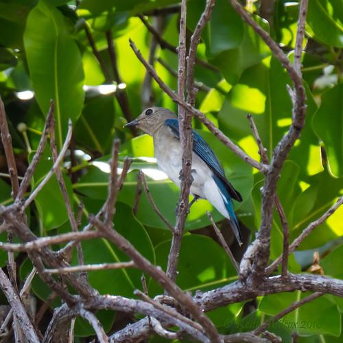 Blue-and-white Flycatcher (Cyanoptila cyanomelana) immature