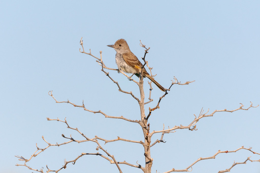 An ash-throated flycatcher perches at the top of a tree beside the Latigo Trail in McDowell Sonoran Preserve in Scottdale, Arizona
