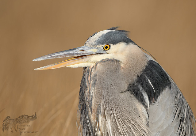 Great Blue Heron 12_10 2