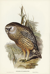 Wekau (Sceloglaux albifacies) illustrated by Elizabeth Gould (1804–1841) for John Gould's (1804-1881) Birds of Australia (1972 Edition, 8 volumes). Digitally enhanced from our own facsimile book (1972 Edition, 8 volumes).