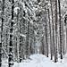 Snow in a pine plantation, Bear Lake, Michigan by bioprof52