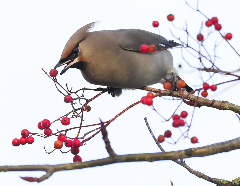 Waxwing  -  these were difficult little devils