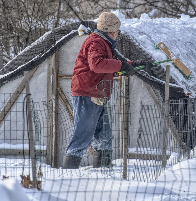 Cleaning Up The Cattle Panel (Hoop House)