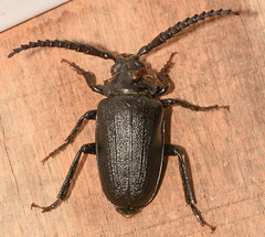 Prionus laticollis