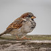 Male House Sparrow by Hickenbothom