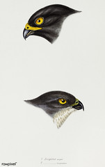1. Black sparrow hawk (accipiter niger) 2. Collared sparrow Hawk (Accipiter Torquatus) illustrated from A Synopsis of the Birds of Australia and the Adjacent Islands (1837) by John Gould (1804-1881).