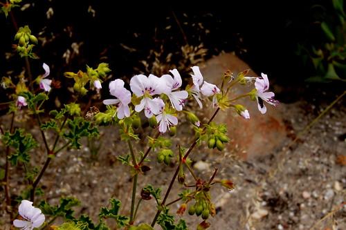 Pelargonium englerianum in habitat