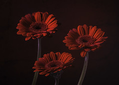 Gerbera - A Study in Red
