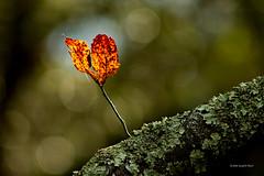 Fall leaf 0692