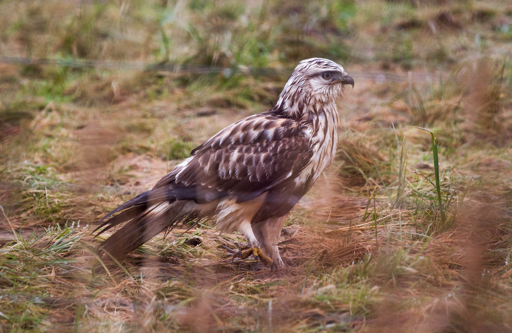 Rough legged hawk (1 of 1)