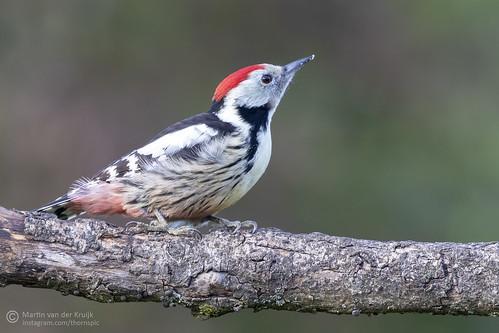 Middle Spotted Woodpecker  (male)- Middelste Bonte Specht (man)