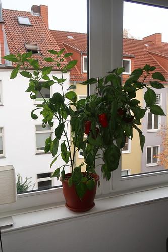 Unsere Paprikapflanze (am Wohnzimmerfenster)