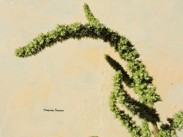 4_Amaranthus retroflexus