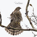 Cooper's Hawk - Accipiter cooperii | 2018 - 2
