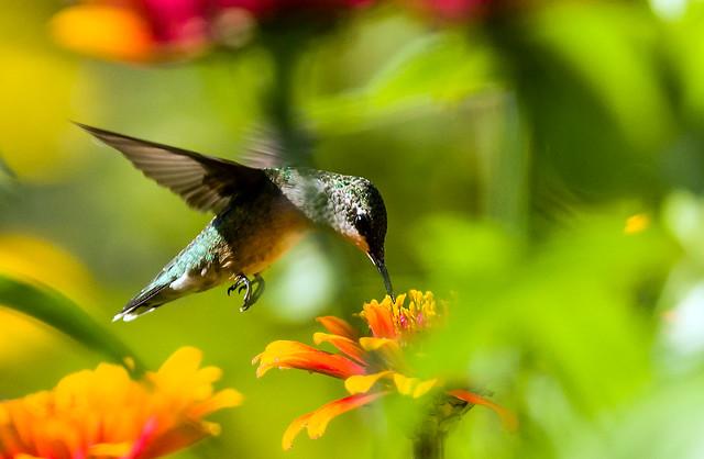 0P7A2533   Ruby-throated Hummingbird