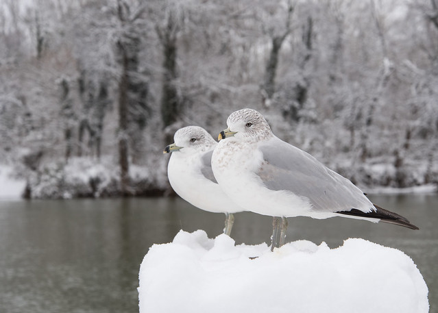 Snow Gulls, Nikon D750, AF-S VR Zoom-Nikkor 24-85mm f/3.5-4.5G IF-ED