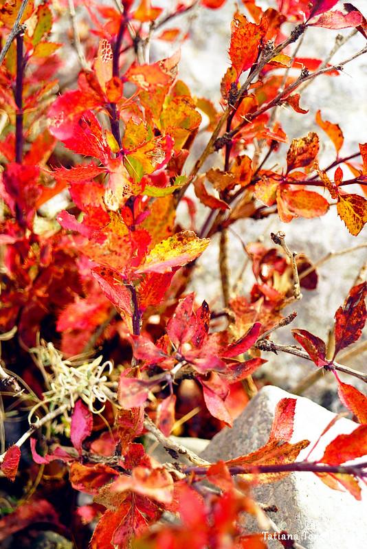 Растение с яркой красной листвой