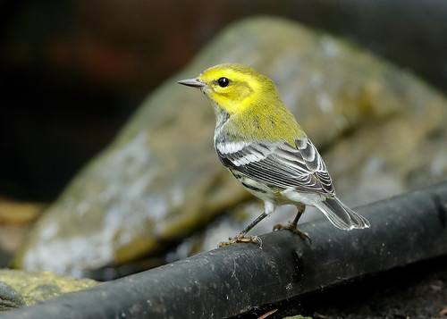 Black-throated Green Warbler Setophaga virens