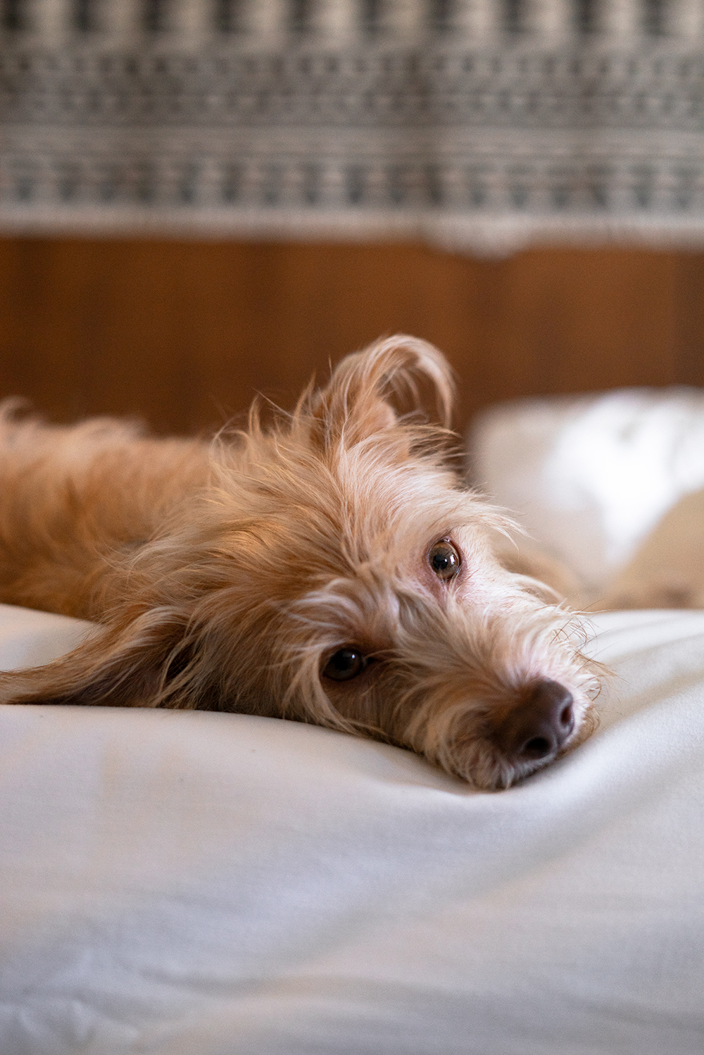 09goodland-santabarbara-hotel-travel-dog-terrier