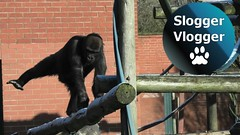 Gorilla Lope Trying To Keep His Balance On The Icy Climbing Frame