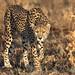 Mama Cheetah on the Prowl by ilana.block
