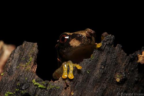 Critically endangered Honduran spikethumb frog metamorph (Plectrohyla dasypus)