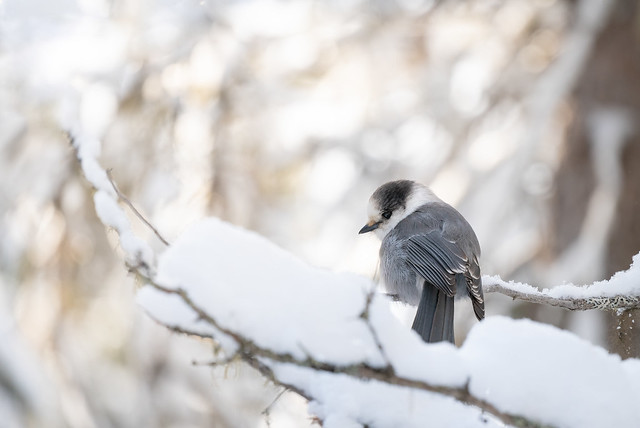 Curious, friendly but beautiful Canada Jay with gorgeous morning light