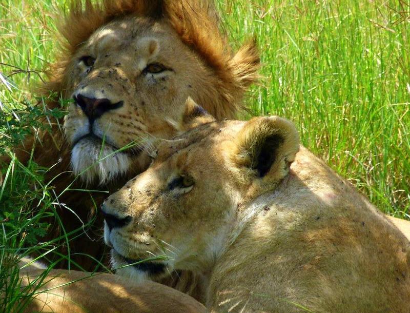Lion pride seen during a tanzania trip