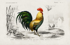 Cock illustrated by Charles Dessalines D' Orbigny (1806-1876). Digitally enhanced from our own 1892 edition of Dictionnaire Universel D'histoire Naturelle.