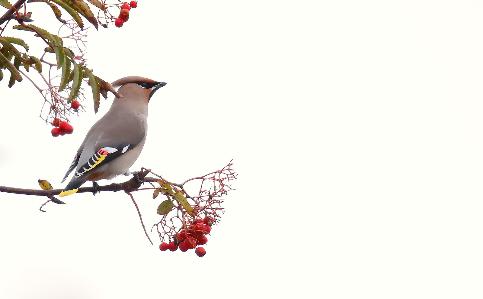 Waxwing - adult male