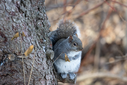 Gray Squirrel hiding out