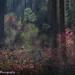 Pacific Dogwoods, Autumn