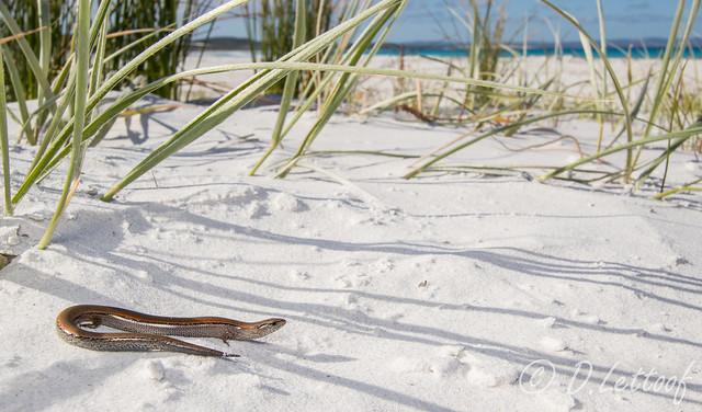 Hemiergis peronii, Cheynes Beach, Canon EOS 7D MARK II, Canon EF-S 10-22mm f/3.5-4.5 USM