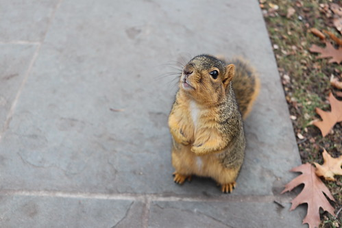 Fox Squirrels in Ann Arbor on an Autumn day at the University of Michigan - November 28th, 2018