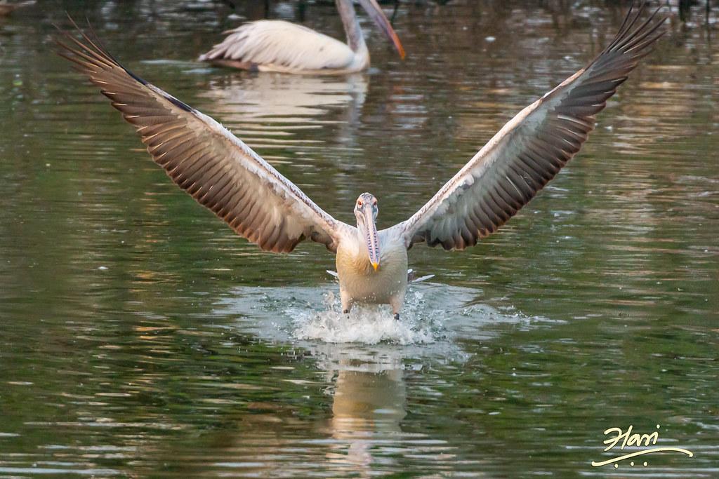 A Pelican landing in the water
