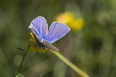 HolderCommon Blue Polyommatus icarus, male.