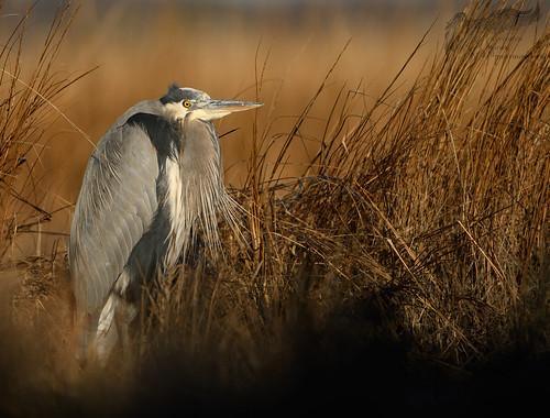 Great Blue Heron 12_4