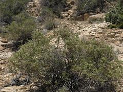 Nevada greasebush, Glossopetalon spinescens var. aridum