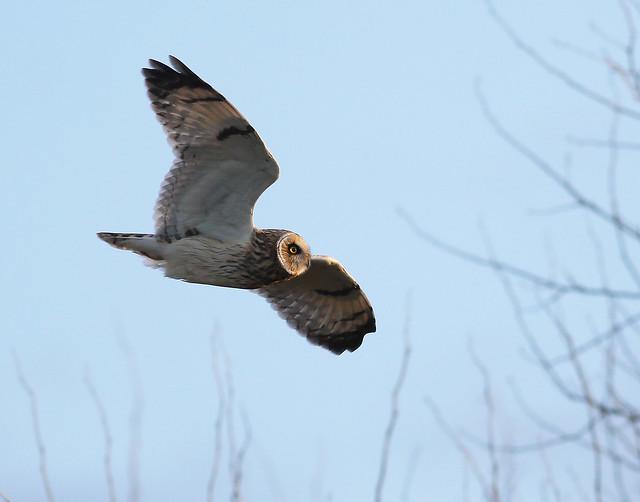 A87A2236 Short-eared Owl, Canon EOS 7D MARK II, EF400mm f/5.6L USM