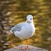 Black Headed Gull_A232527