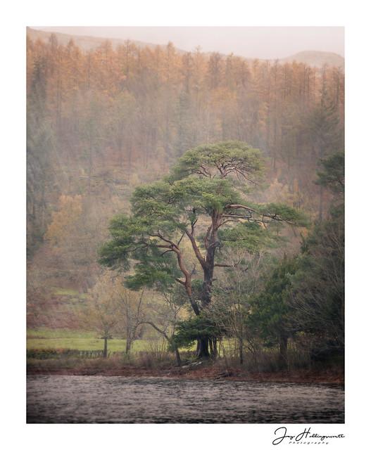 Coniston Pine, Nikon D800, AF Nikkor 70-210mm f/4-5.6