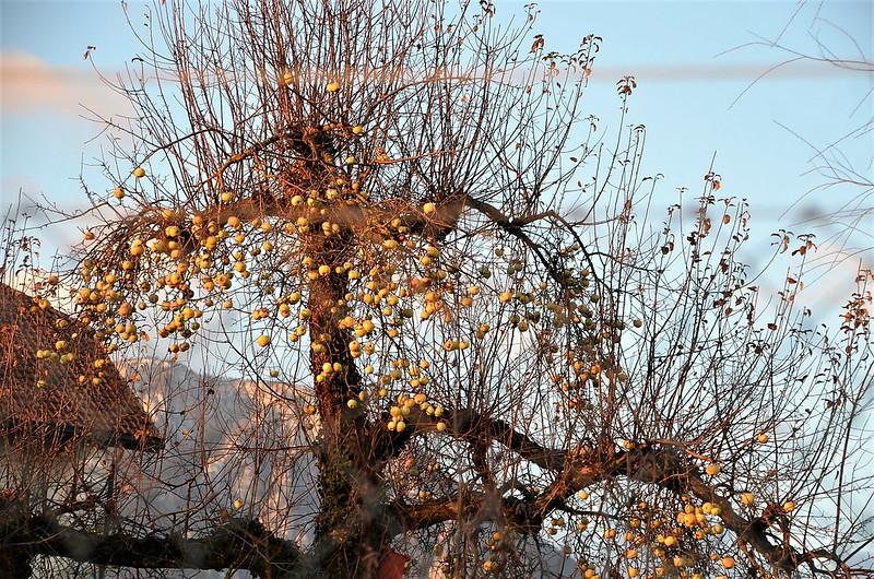 Apple tree 12.12 (2)
