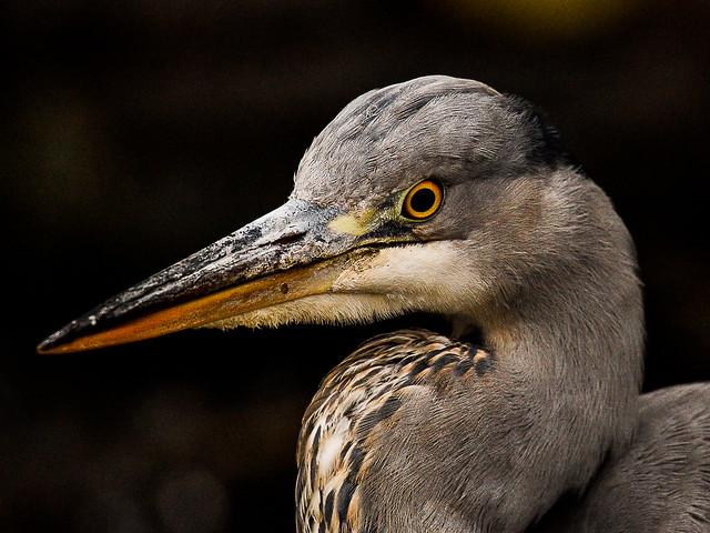 Grey heron up close, Nikon D500, AF-S Nikkor 200-500mm f/5.6E ED VR