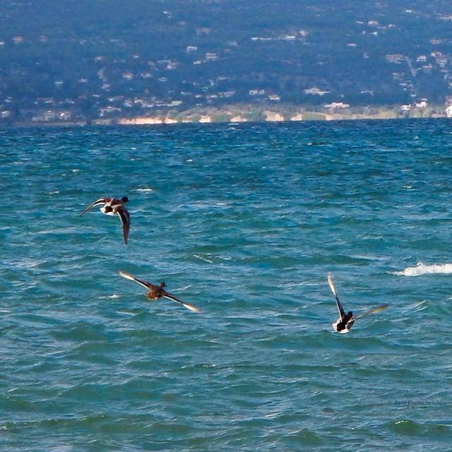 Wild ducks flying away, Nikon COOLPIX AW110