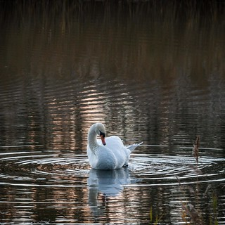Swan at Potteric Carr