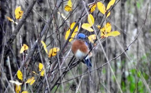 Eastern Bluebird - Portland, OR 11-26-18 007