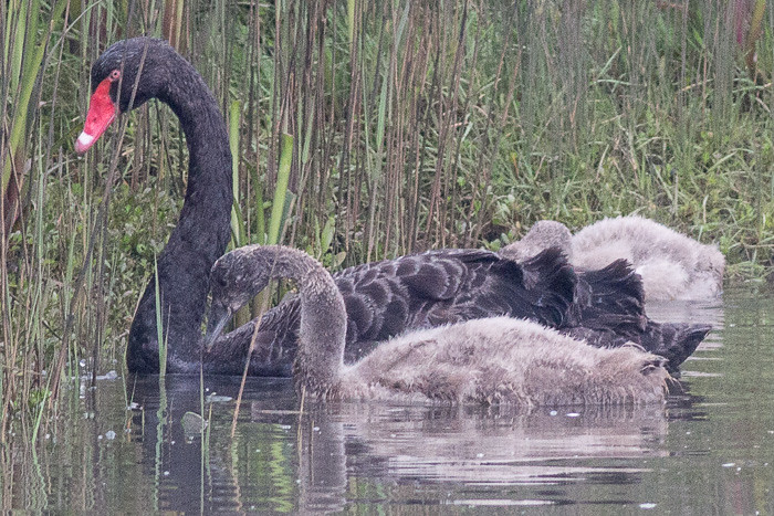 Black Swan and baby