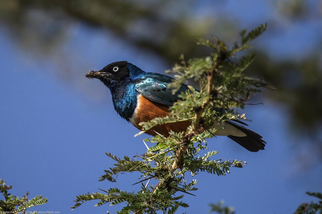 Lake_Naivasha_Kenya_sep18_09 starling