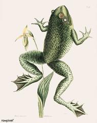 Bull Frog (Rana maxima) from The natural history of Carolina, Florida, and the Bahama Islands (1754) by Mark Catesby (1683-1749).