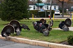 The wild turkeys of Staten Island